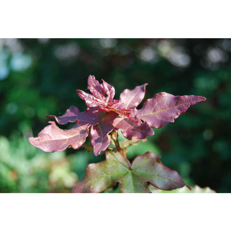 Acer campestre 'Royal Ruby'