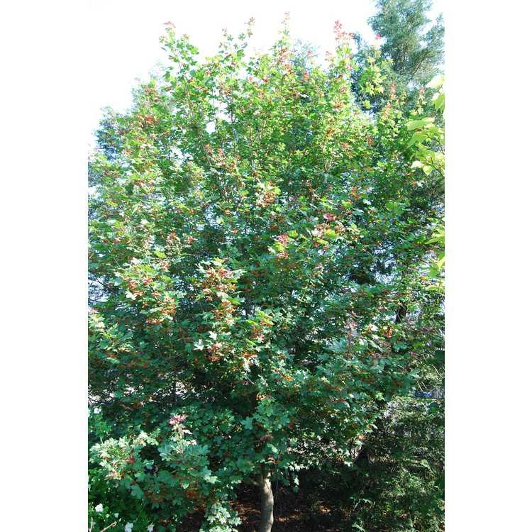 Acer campestre 'Royal Ruby'