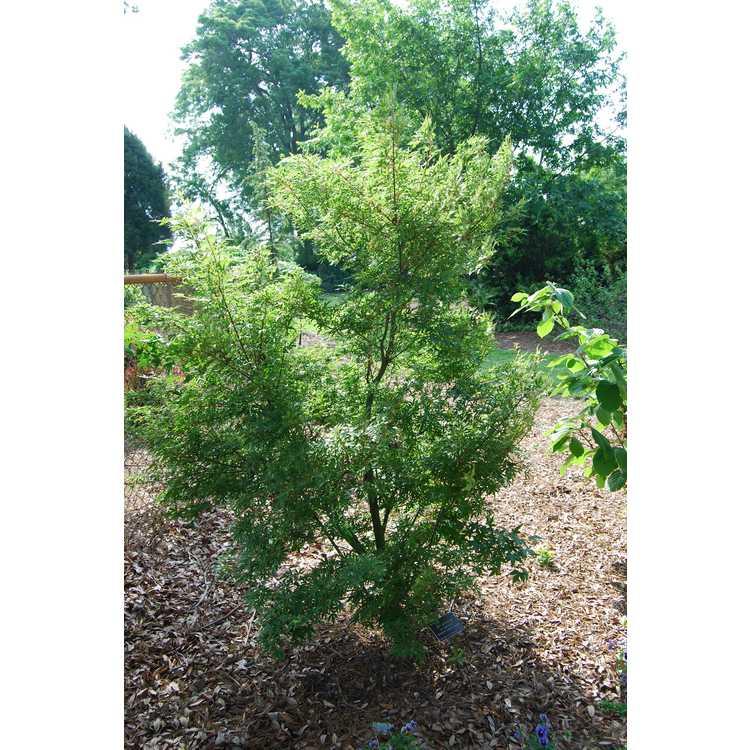 Acer palmatum 'Ao kanzashi'