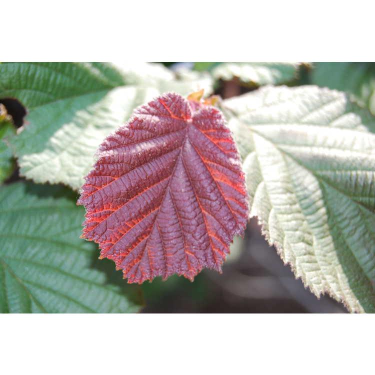 Corylus maxima 'Rote Zeller'