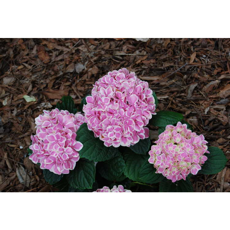Hydrangea macrophylla 'Early Sensation'