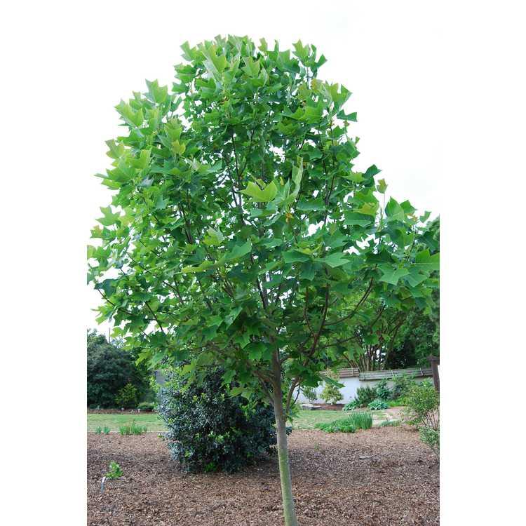 Liriodendron chinense 'J. C. Raulston' - Chinese tuliptree