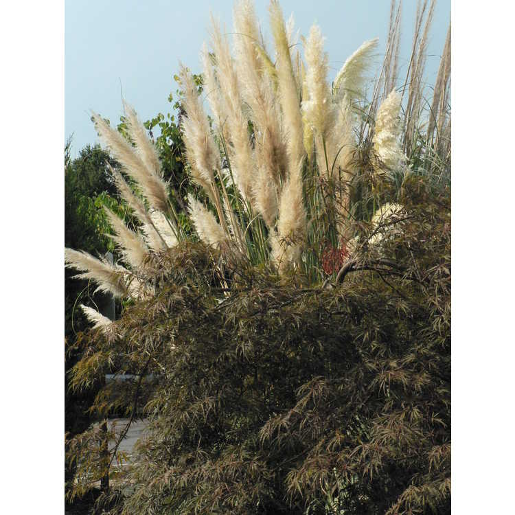 Cortaderia selloana Sunningdale Silver