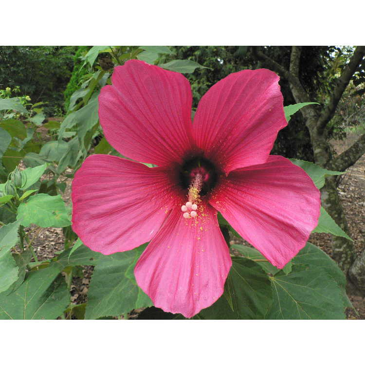 Hibiscus 'Moy Grande' - rose mallow