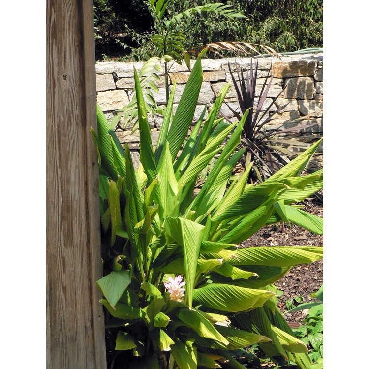 Curcuma petiolata - hidden cone ginger