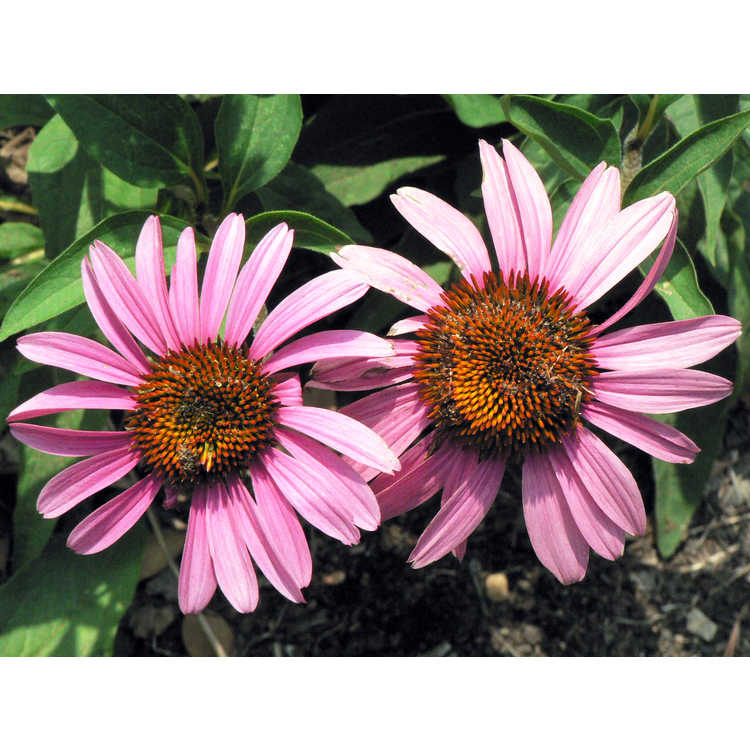 Echinacea purpurea 'Merlot' - eastern purple coneflower
