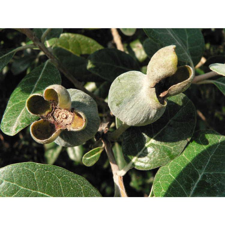 JC Raulston Arboretum - Photographs of Pineapple Guava
