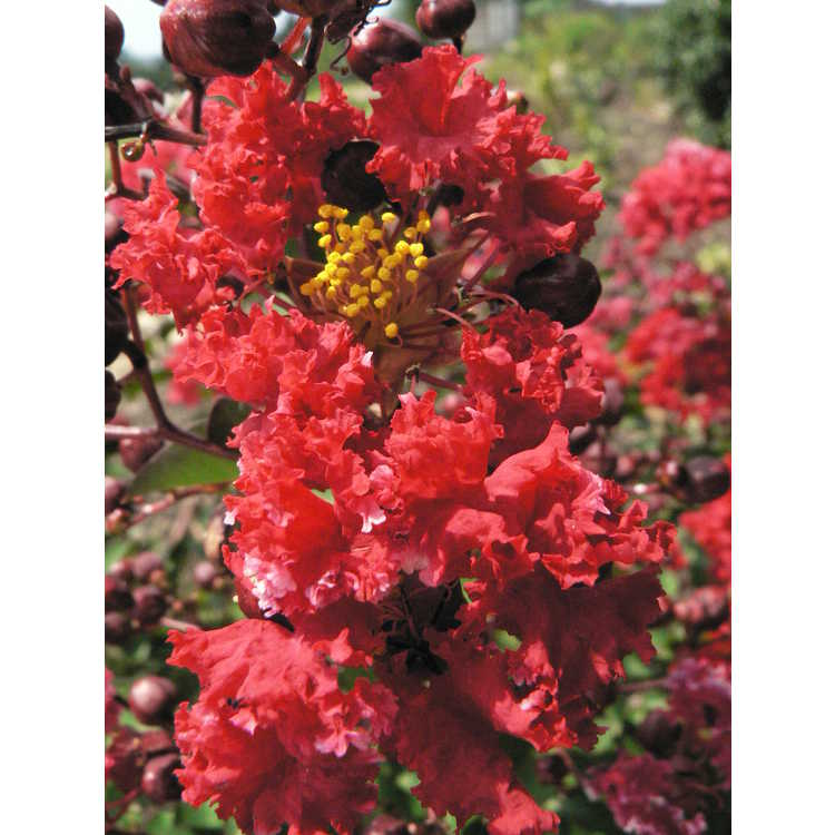Lagerstroemia indica Whit IV Red Rocket