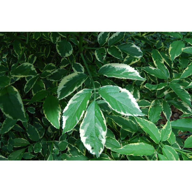 Sambucus nigra 'Marginata' - variegated European elderberry