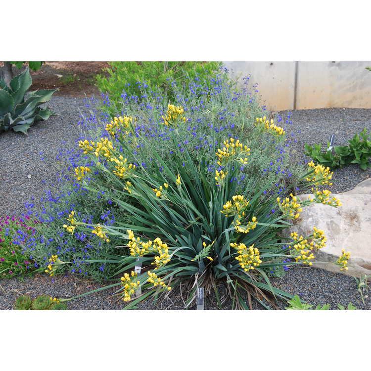 Sisyrinchium palmifolium - yellow-eyed grass
