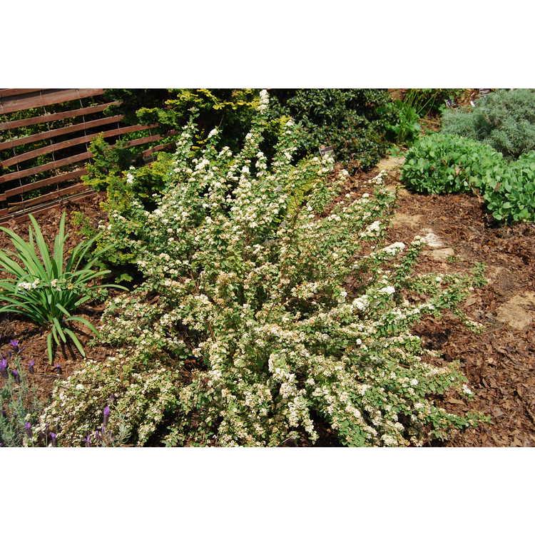Spiraea ×vanhouttei 'Catpan' - Pink Ice variegated Vanhoutte spirea