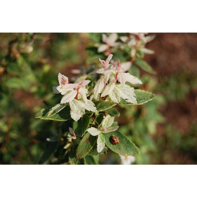 Spiraea ×vanhouttei 'Catpan'