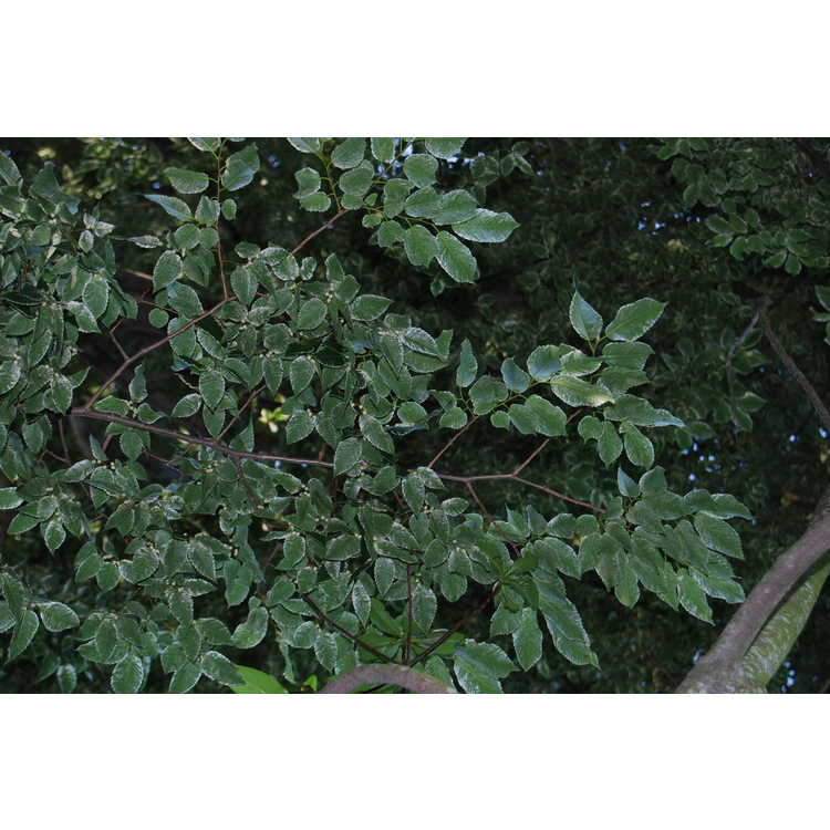 Zelkova serrata 'Goshiki' - variegated Japanese zelkova