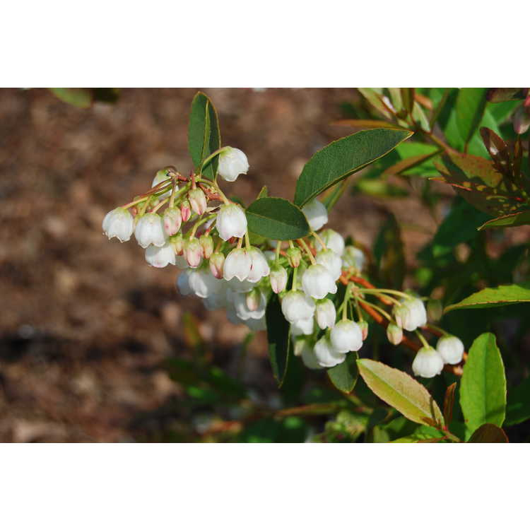 Zenobia pulverulenta Raspberry Ripple