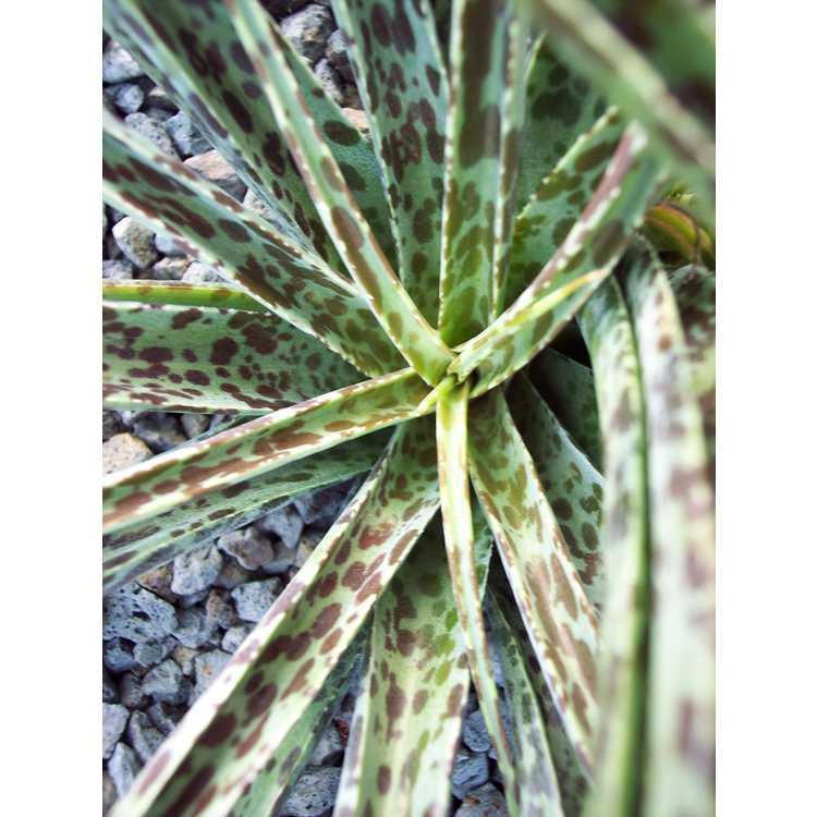 Manfreda maculosa
