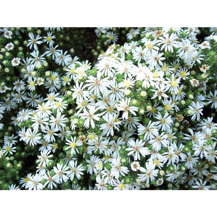 Symphyotrichum ericoides 'Schneegitter' - white heath aster