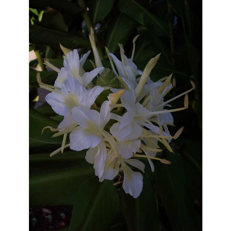 Hedychium 'White Starburst' - hardy ginger-lily