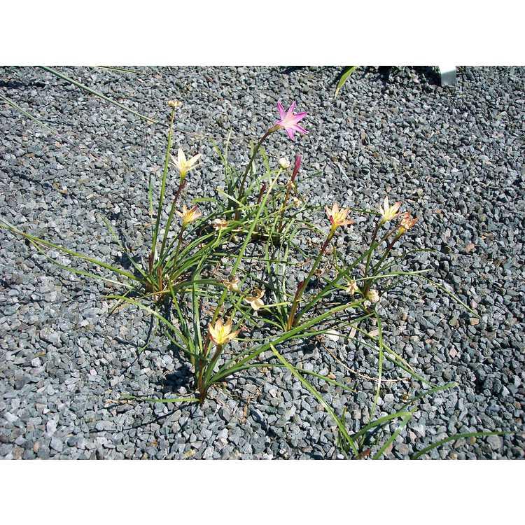 Zephyranthes 'Batik'