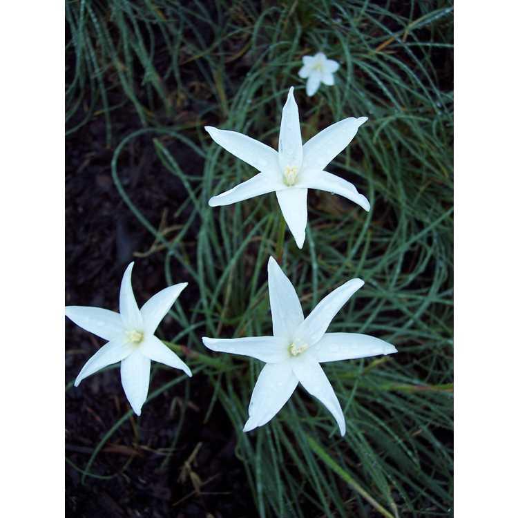 Zephyranthes traubii San Carlos Form