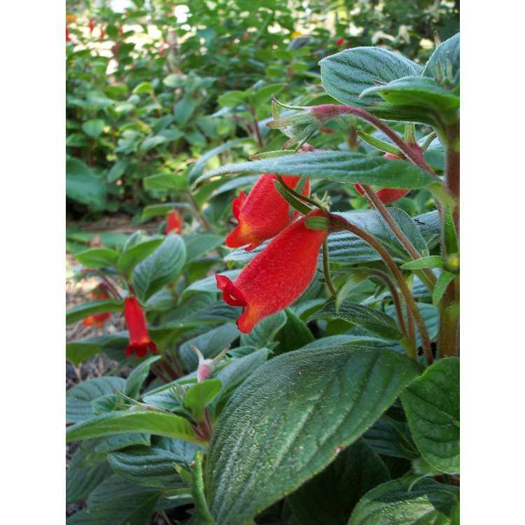 Seemannia nematanthodes 'Evita' - hardy gloxinia