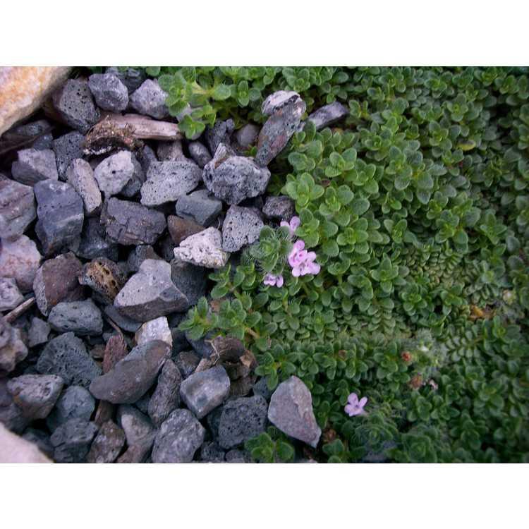 Thymus praecox articus Elfin