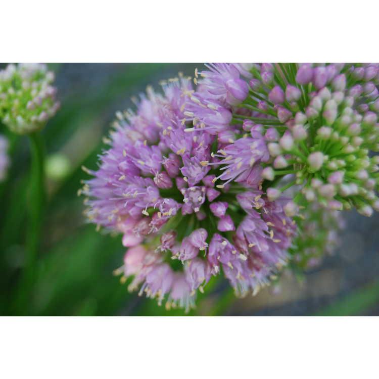 Allium 'Millennium'