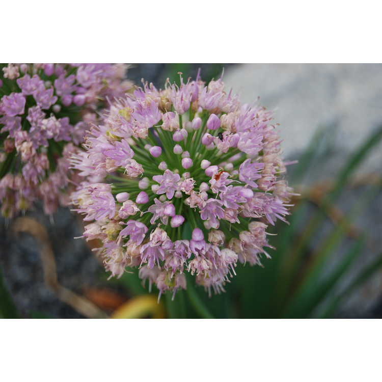 Allium 'Pink Feathers' - ornamental onion