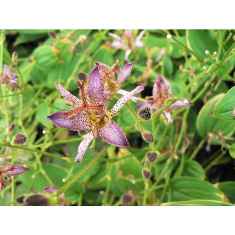 Tricyrtis formosana 'Samurai' - toad lily