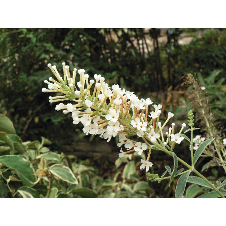 Buddleja 'Blizzard' - butterfly-bush