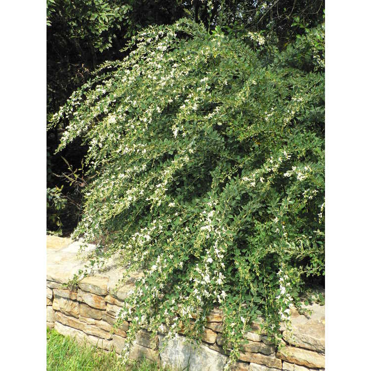 Lespedeza thunbergii 'White Fountain'