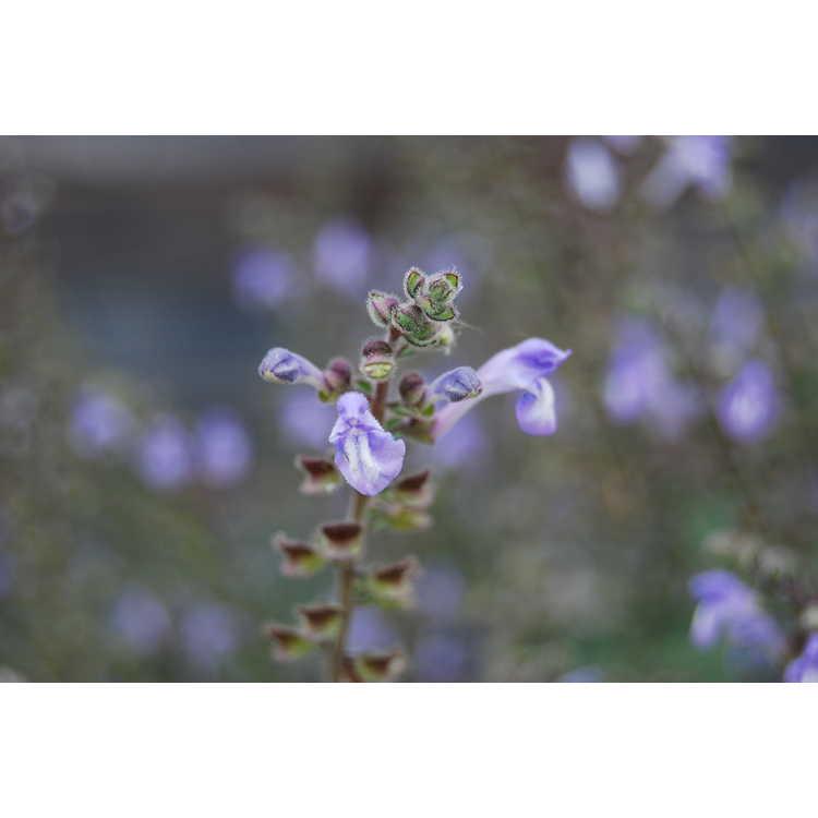 Scutellaria ovata - heartleaf skullcap