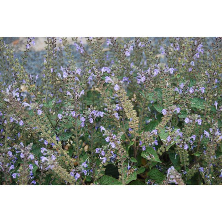 Scutellaria ovata