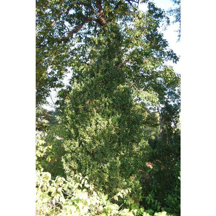 Buxus sempervirens 'Fastigiata'