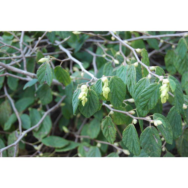Corylopsis-glabrescens-v-gotoana-March-Jewel-002-JCRA-10-30-07.JPG