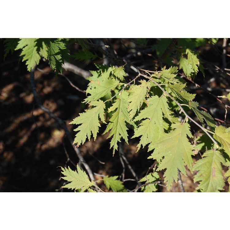 Corylus-avellana-Heterophylla-001-JCRA-10-30-07.JPG
