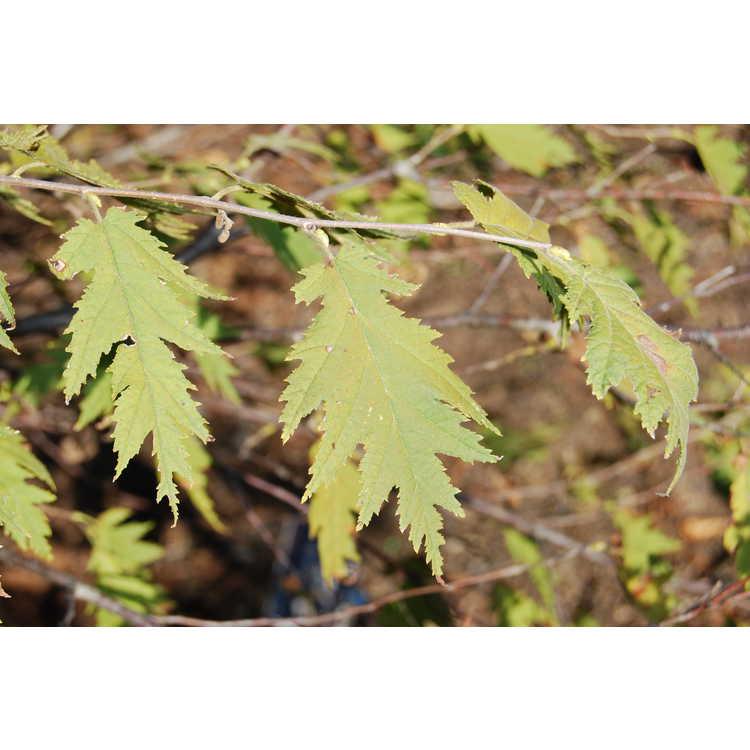 Corylus-avellana-Heterophylla-002-JCRA-10-30-07.JPG