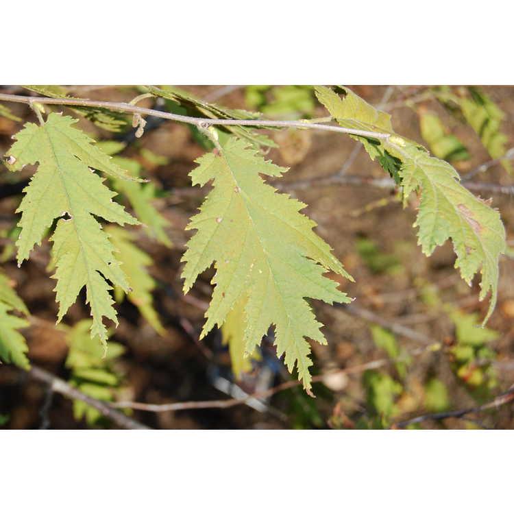 Corylus-avellana-Heterophylla-003-JCRA-10-30-07.JPG