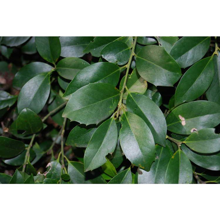 Ilex 'Scepter' - Kosar hybrid evergreen holly