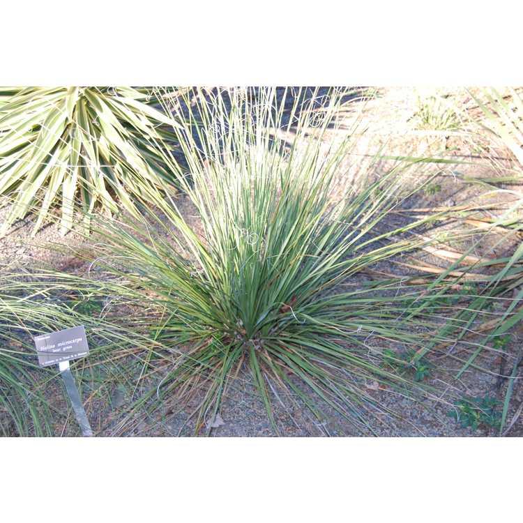 Nolina microcarpa - bear grass