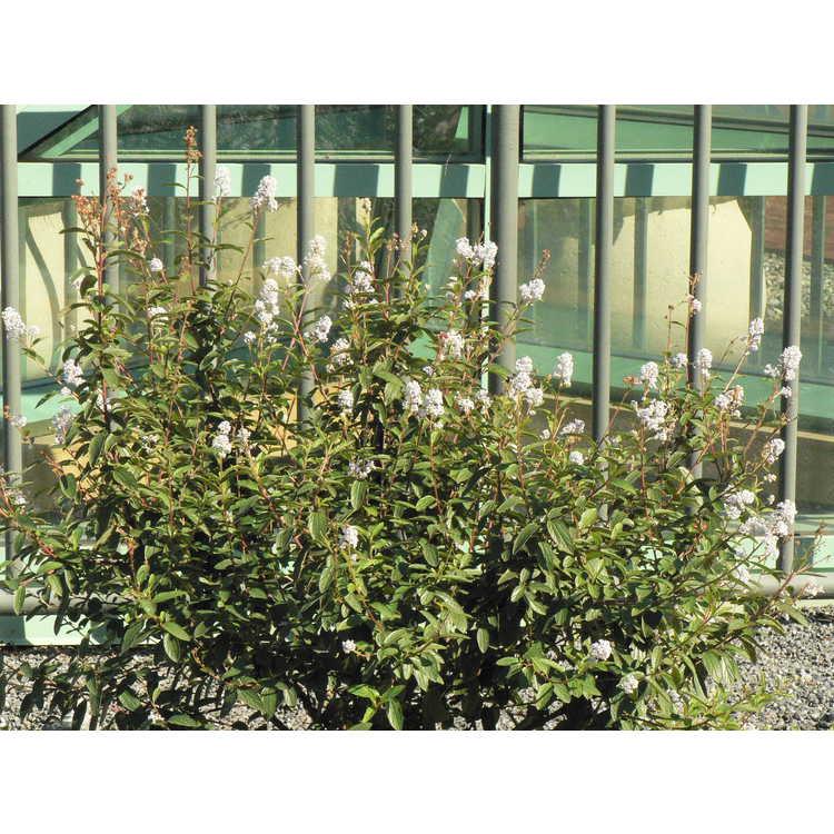 Ceanothus ×delilianus 'Henri Desfossé' - French hybrid ceanothus