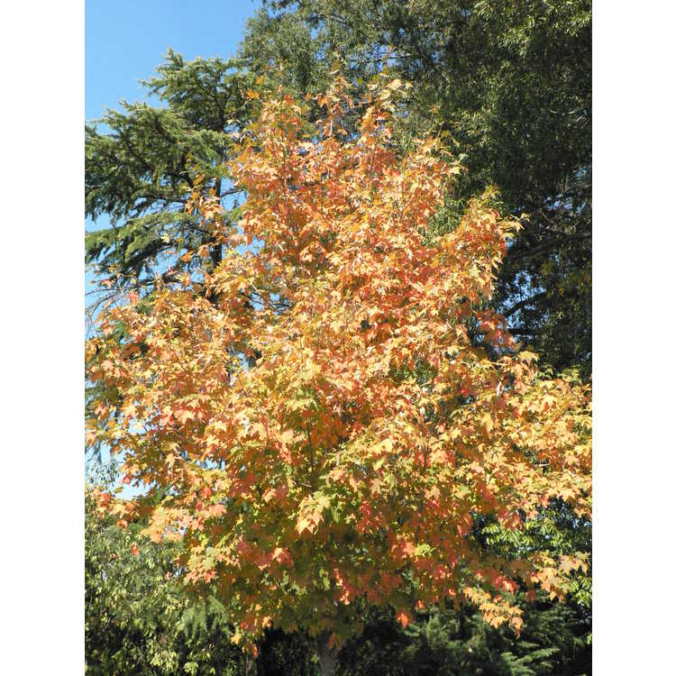 Acer saccharum 'Flax Mill Majesty'