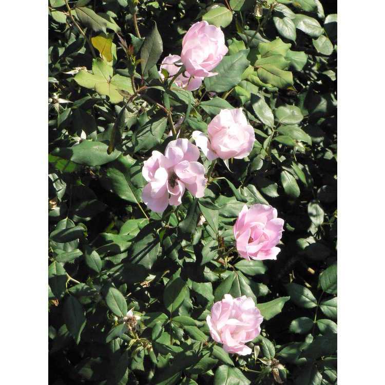 Rosa Radyod Blushing Knock Out