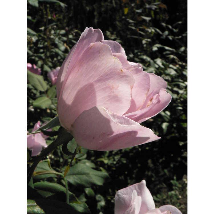 Rosa 'Radyod' - Blushing Knock Out shrub rose