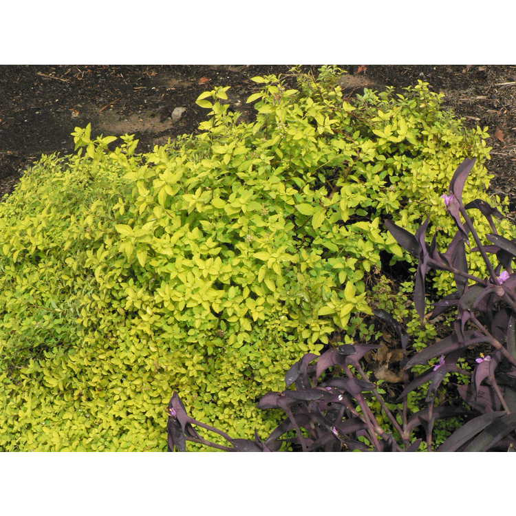 Spiraea japonica 'Golden Elf'