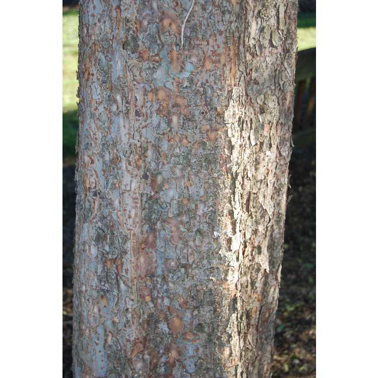 Ulmus parvifolia 'Dynasty'