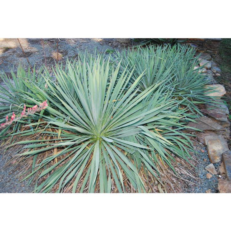 Yucca flaccida - weak-leaf yucca