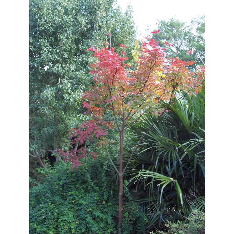 Acer 'Girard's Selection'