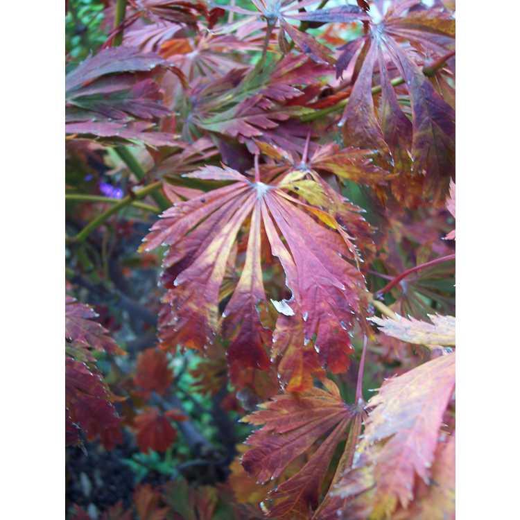 Acer japonicum 'Filicifolium'