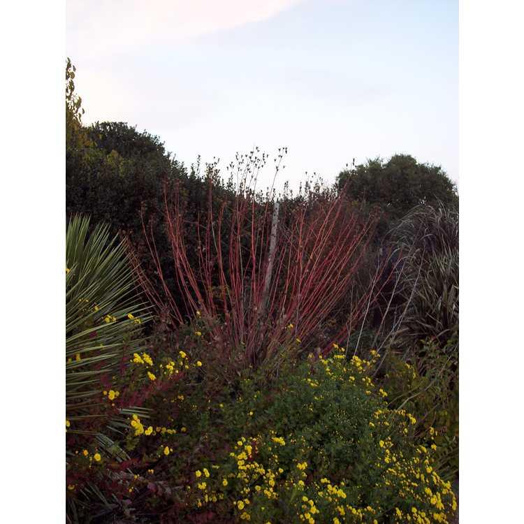 Hibiscus 'Holly Springs' - hybrid hibiscus