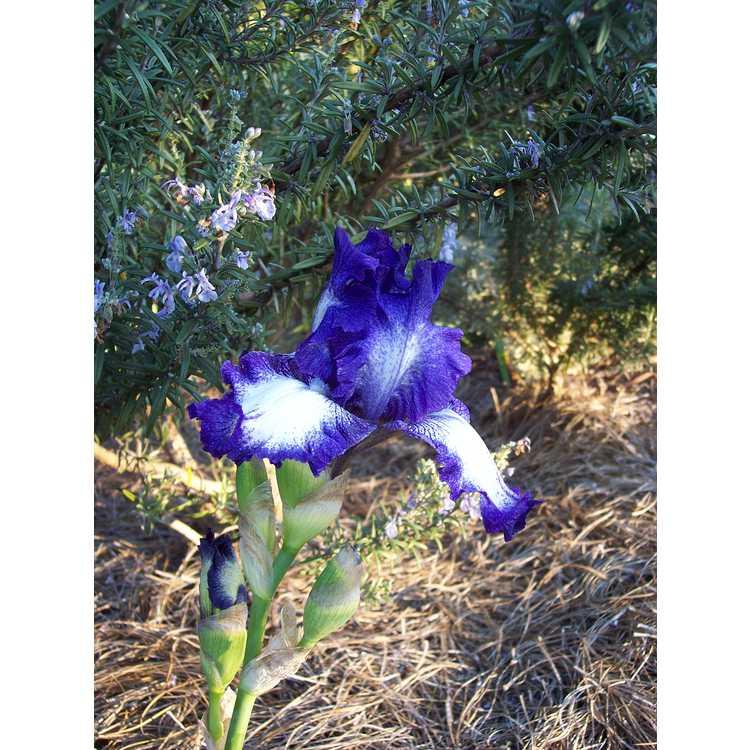 Iris Aunt Mary